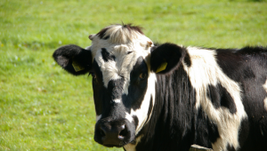 A black and white cow in a green grassy park