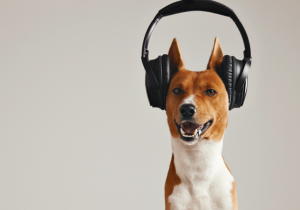 a brown and white dog wearing black headphones